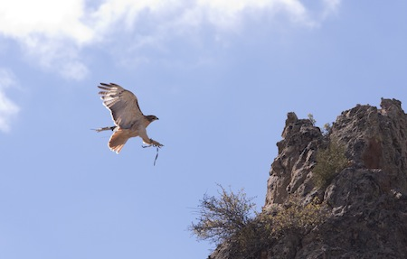 Red-tail hawk landing