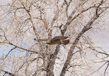 Red-tail hawk soaring