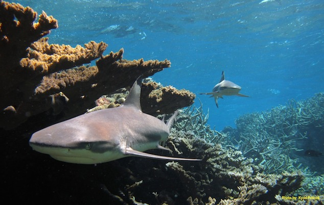 shark-usfws