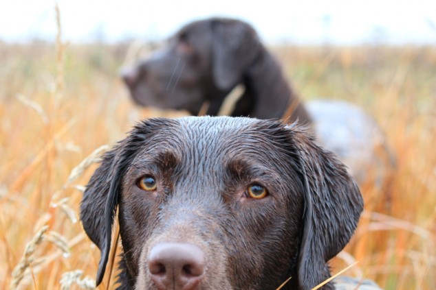 duck-dogs-steve_meyerphoto-duck hunting etiquette