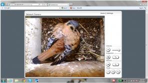 male incubating eggs, webcam