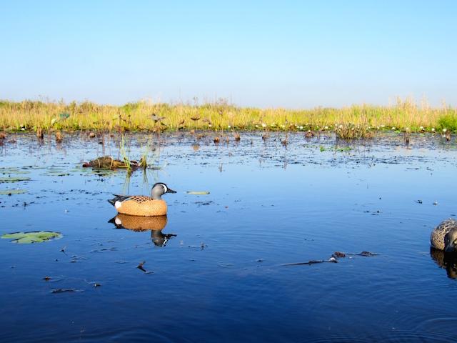 louisiana duck marsh
