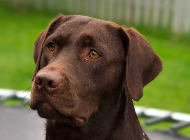 """Labrador Retriever chocolate Hershey sit (cropped)"" by Rob Hanson - Hershey - Chocolate Lab. Licensed under CC BY 2.0 via Commons - https://commons.wikimedia.org/wiki/File:Labrador_Retriever_chocolate_Hershey_sit_(cropped).jpg#/media/File:Labrador_Retriever_chocolate_Hershey_sit_(cropped).jpg"