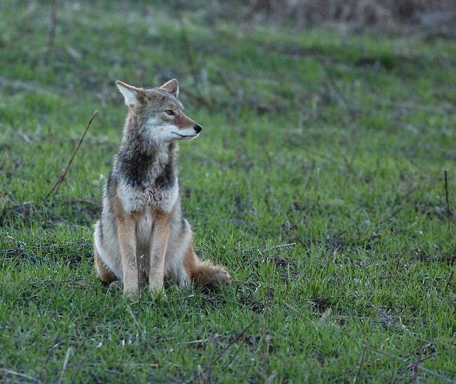 Coyote Dogs For Sale In Ohio