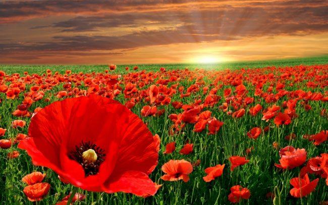 New-Poppy-Flowers-Free-HD-Wallpaper-03