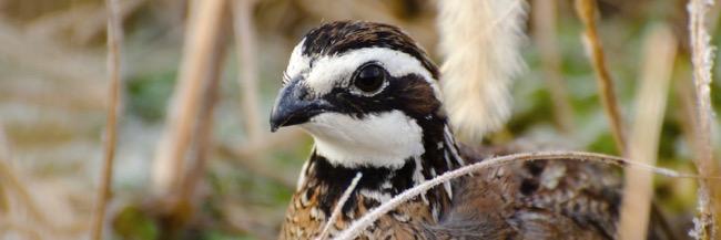 bobwhite-quailben-robinson-photo