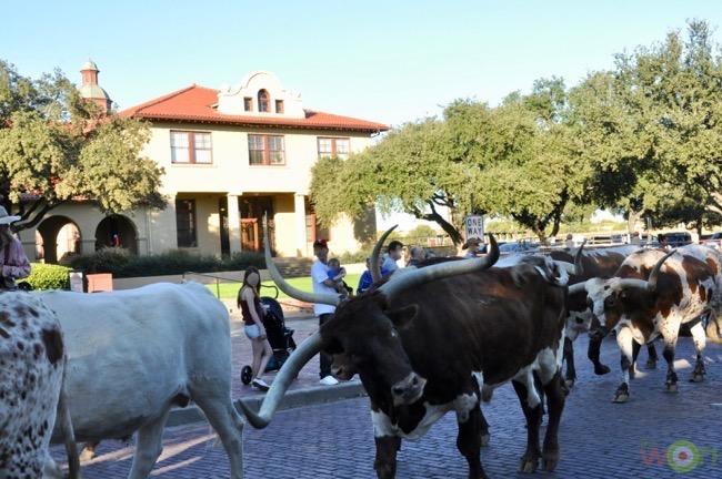 longhorn-cattle-cerino