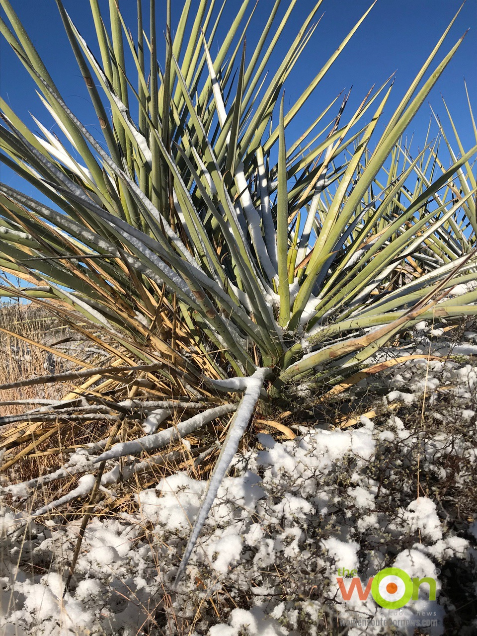 Chihuahuan desert yucca