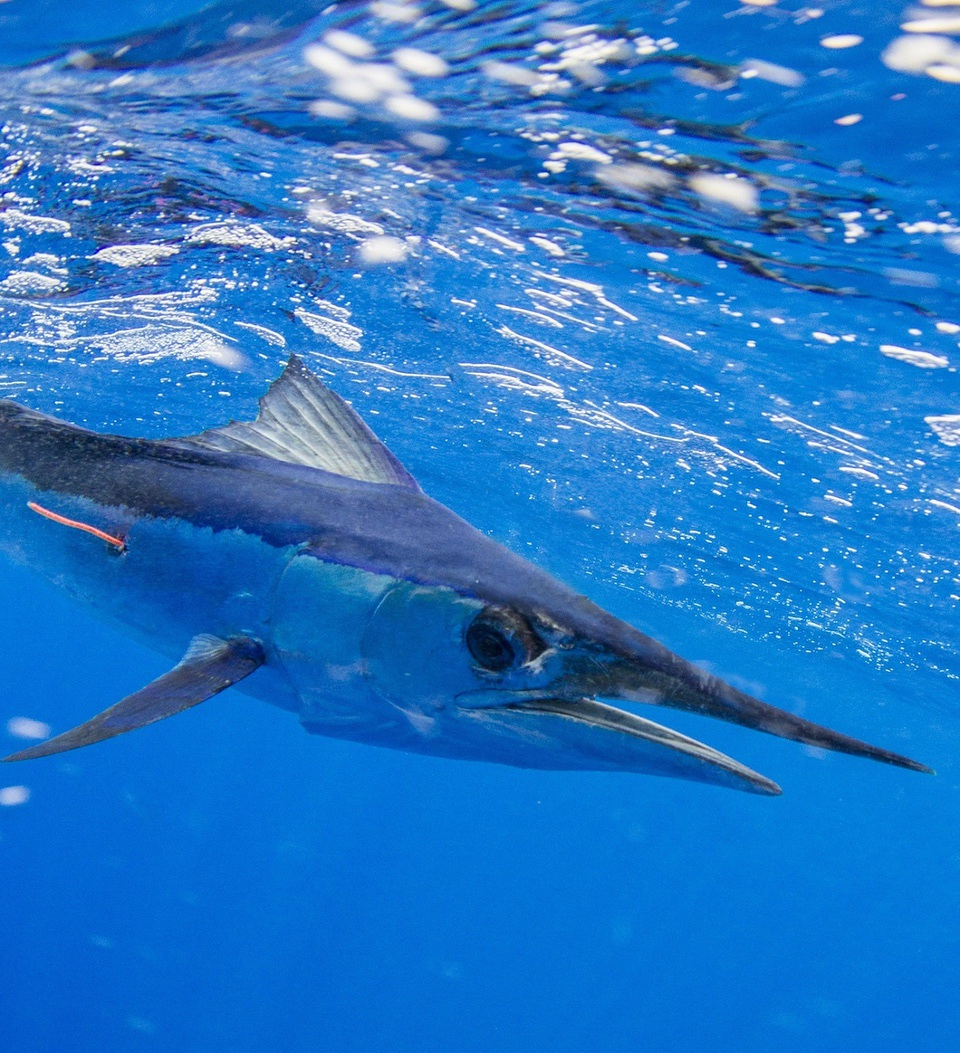 Spearfish Billfish Prohibits Sale of Billfish