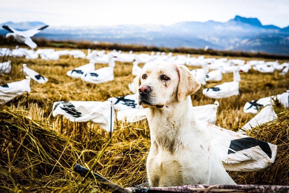 Emily Perreira Goose Hunting dog