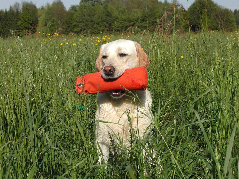yellow Labrador Retrievers retrieving Retriever Training Tips training dummy
