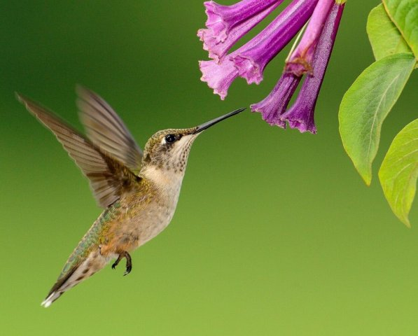 Hummingbird Resources purple flower
