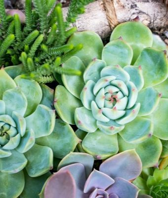 succulent Feature
