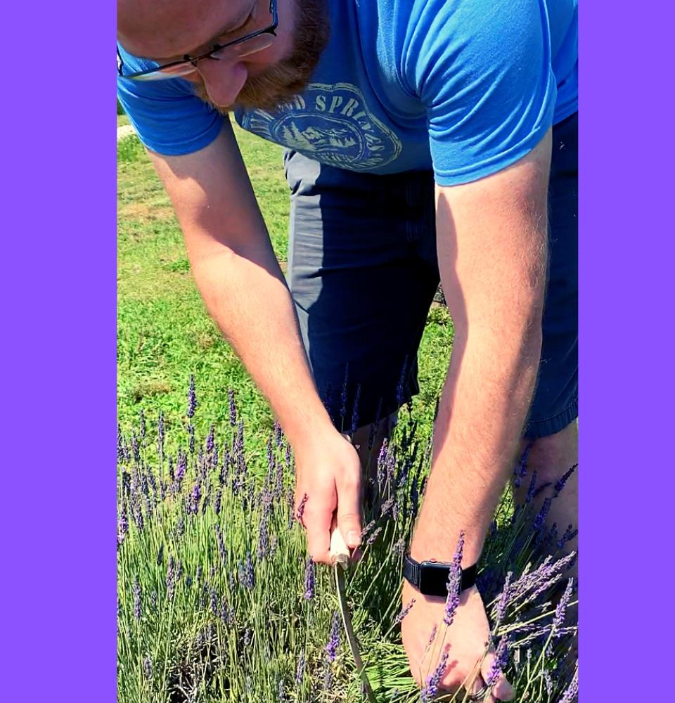 Swank lavender farm logan cutting lavender