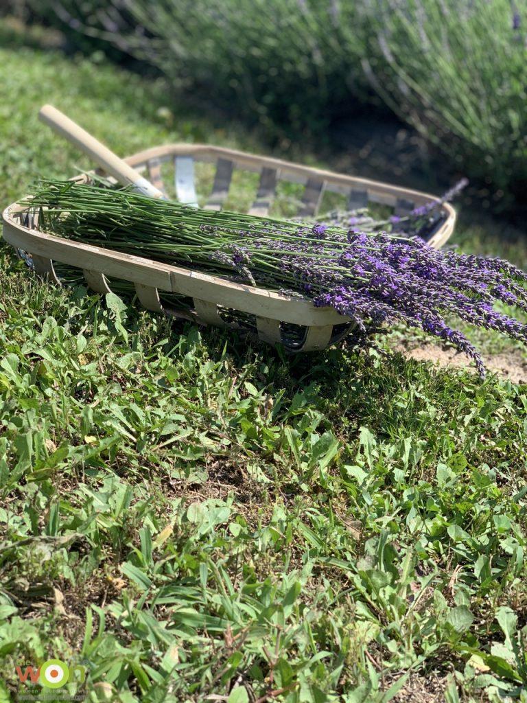 lavender in basket in field