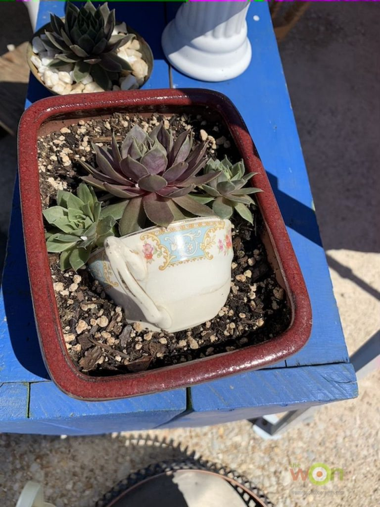 succulent in clay pan