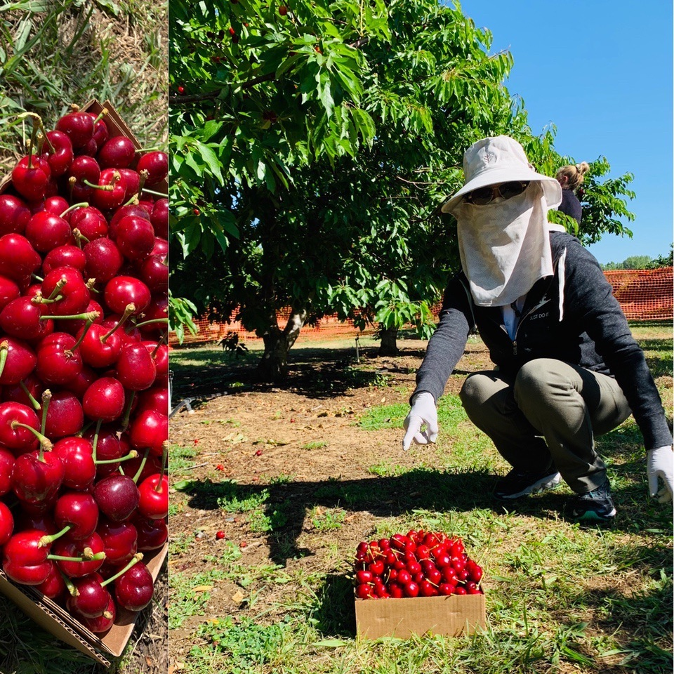 Cherry picking at Brentwood, Vera with face mask during the Coronavirus Pandemic