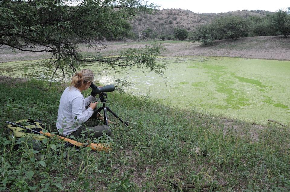 Bullfrog removal (Christina Akins) with spotting scope Cienega Creek Watershed