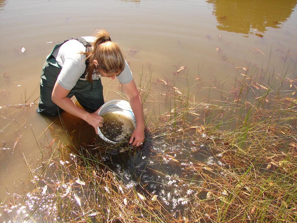 Removing bullfrog egg mass Cienega Creek Watershed