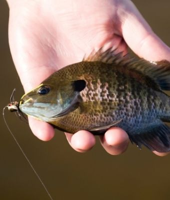 Bluegill fly fishing feature