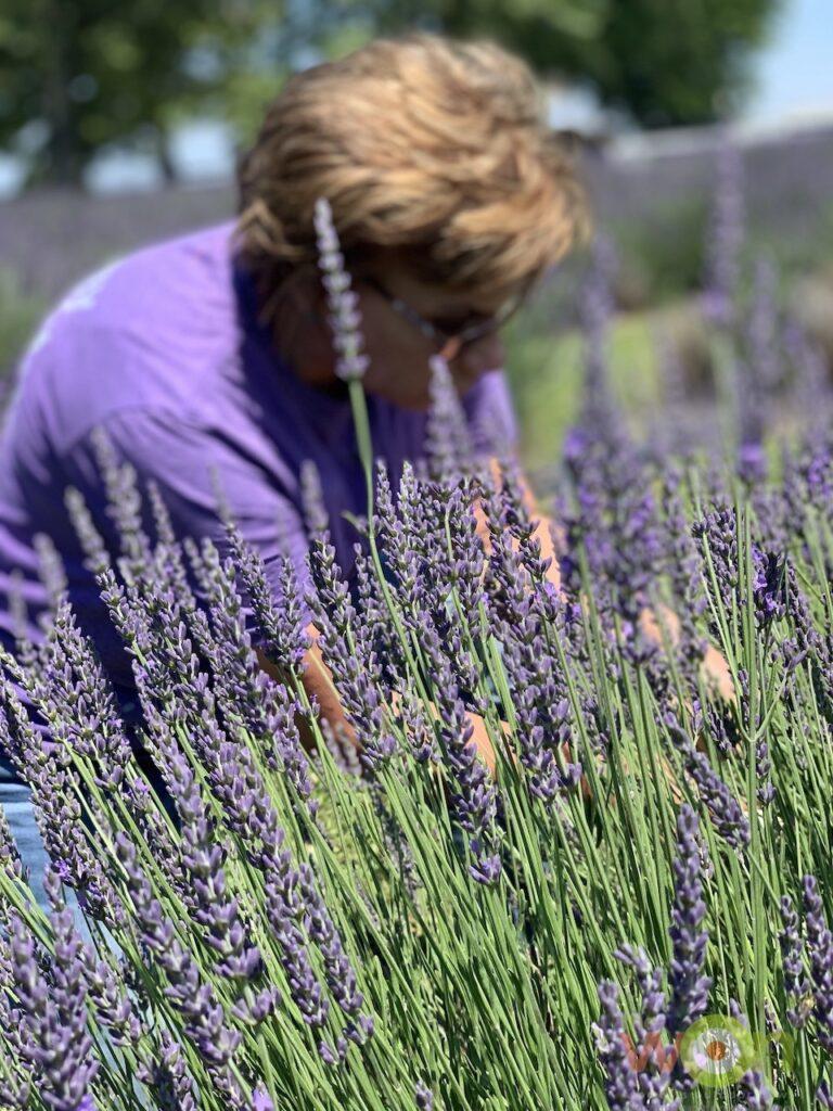 Swank Lavender Farm cutting