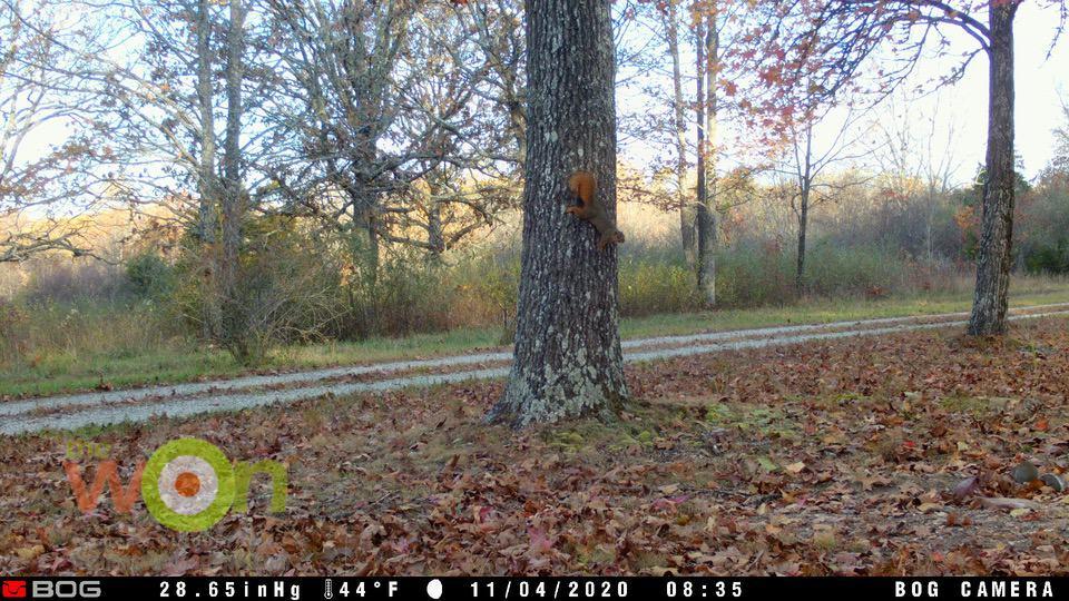 Squirrel on tree BOG trail camera