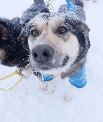 Denali dogs feature
