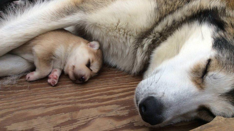 denalinpp_puppy-cam-dogs-sleeping_nps Denali Puppy Cam