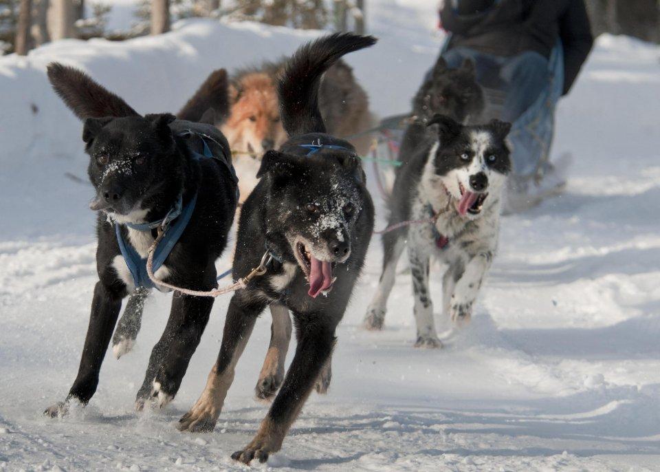 denalinpp_sled-dogs_tim-rains_nps Denali Puppy Cam