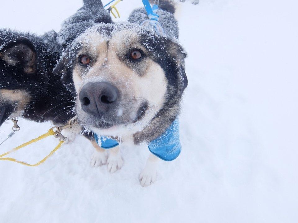 denalinpp sled dog in snow nps