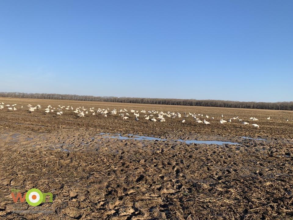 mucky goose field at the Arkansas Goose Hunt
