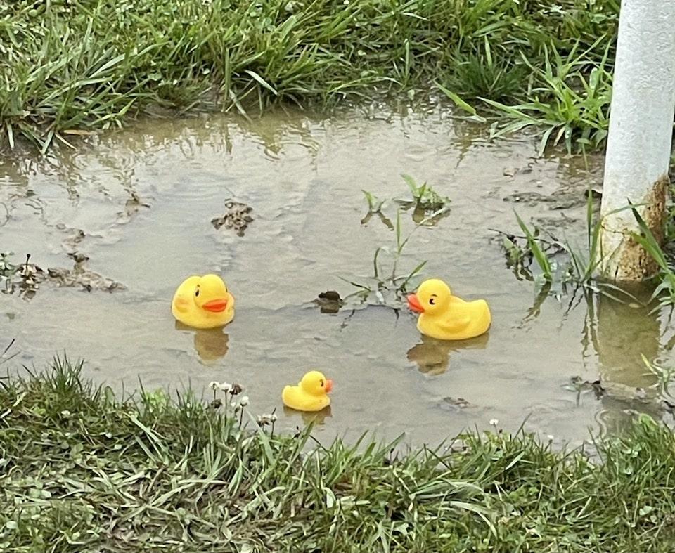 ducks puddle